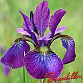 iris y. siberica chilled wine