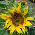 2008 08 12 Mon tounresol big smile en fleur