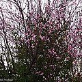 Prunus 0503164