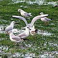 Oiseaux ile de re foto Mo2 (63)-h1500