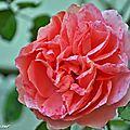 Dernière rose de décembre aux portes de l'hiver...