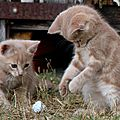 <b>Chatons</b> roux et baballe