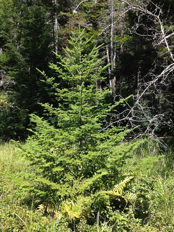 2013-08-25_11_42_13_Balsam_Fir_sapling_along_the_northeast_shore_of_the_cove_of_Spring_Lake_in_Berlin,_New_York