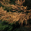 Larches for free