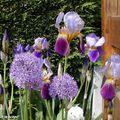 Iris 'Nigth édition' et Alium