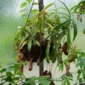 Nepenthes (variété non précisée)