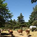 2008 06 26 Les vaches qui entrent au prés