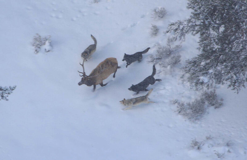 1280px-Wolves_and_elk