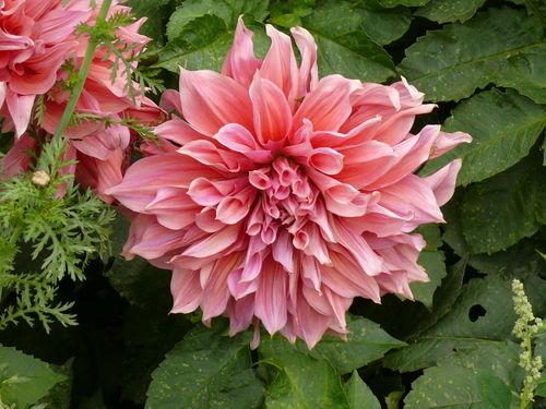 2008 09 26 Une grosse fleur de dahlias