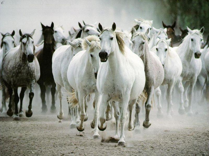 des chevaux sauvages
