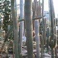 Dans la vie il y a des cactus ...