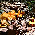 La girolle de Fries (cantharellus friesii)...