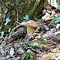 Robuste cèpe d'été au pied d'un chêne.