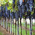 En pleine vigne avec célinettes, 1ère inscrite