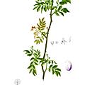 <b>Poivre</b> du <b>Sichuan</b> ou Széchuan