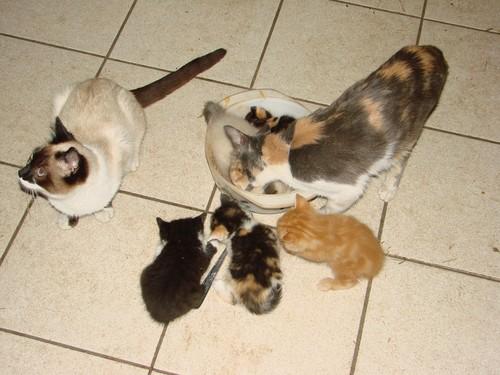 2008 04 11 Les petit chatons de Papillon qui mangent avec leur mère et Blanco