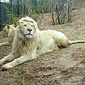 Zoo d'amnéville : les lions blancs sont arrivés !