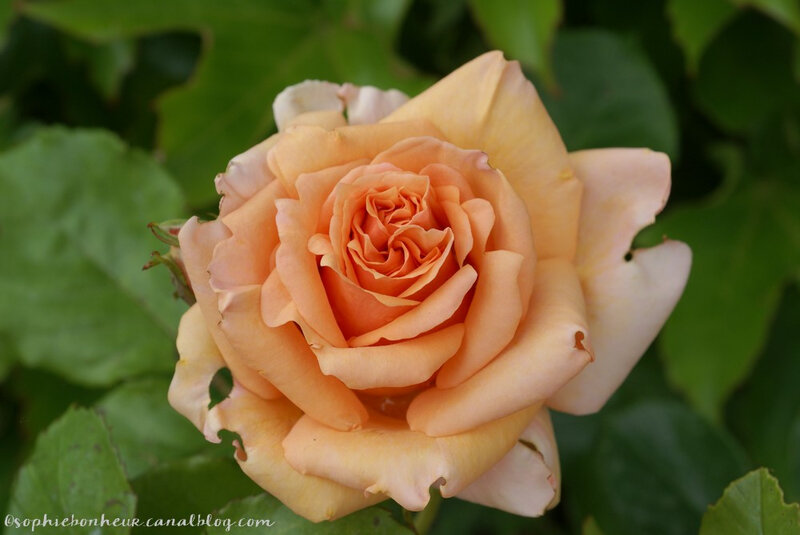 fin mai rose corail