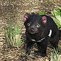 <b>AUSTRALIE</b> - Des petits Diables de Tasmanie naissent en <b>Australie</b> continentale... une première depuis 3.000 ans!