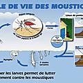 La vie fascinante du moustik