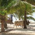 Un char à boeufs sur la plage de Bois-Jolan
