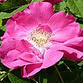 La <b>rose</b> de <b>PROVINS</b> - <b>rosa</b> gallica officinalis