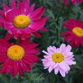 2009 06 09 Fleurs de Pyrèthre de Robinsons