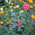 2008 09 06 Un pavot annuelle et mes roses sunset