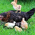 Pétition l214 contre les poules en cage