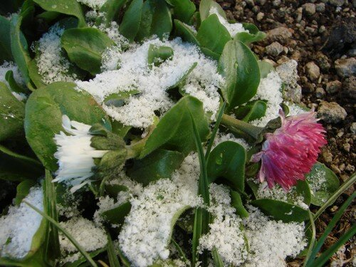 2008 04 07 Des pâquerette recouvert de neige