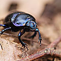 <b>Bousier</b> * Dung beetle