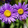 Asters (4)
