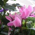 Cyclamens roses
