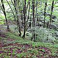 Attroupement de hêtres au bas du sentier Boesou.