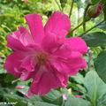Une rose (sp. ?)
