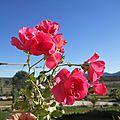 Les roses de noël
