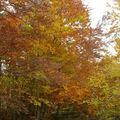 2008 10 12 Les fayards et leurs magnifiques couleurs automnal