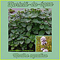 HORTELÃ-DA-ÁGUA (<b>Mentha</b> aquatica)