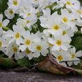 2009 04 08 De nombreuses fleurs de primevères