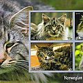 Le norwegian forest