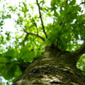 l'arbre vu d'en bas