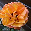 Rennaissance des rosiers nains