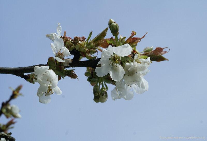 avril cerisier ciel