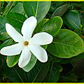 blog_fleurs_tiaré