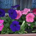 2009 06 09 Pétunias en fleurs