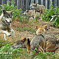 Les loups de <b>Chabrières</b> prennent leur goûter à 16h : il vaut mieux s'en souvenir !