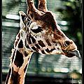 sophie la girafe (2)