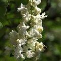 Lilas blanc 11
