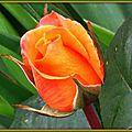 Rose orange 0805152