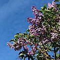 Ciel de lilas